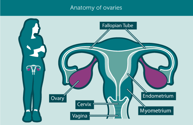anatomy_ovaries