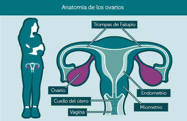anatomy_ovaries